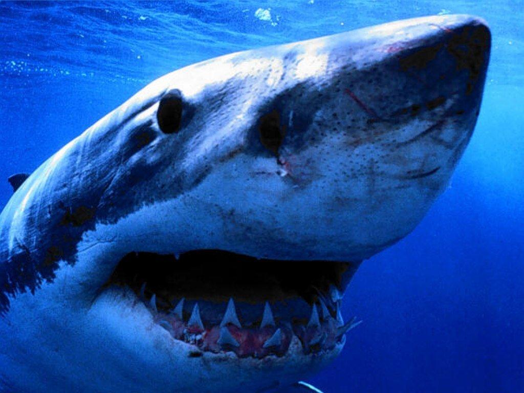 100 Sfondi Animali Squalo Testo Sfondo Bianco Pesce Hd Wallpapers